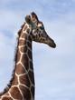 giraffe 03