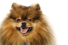 Pomeranian Dog Portrait.