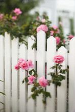 Rose Bush Growing Over White Picket Fence.