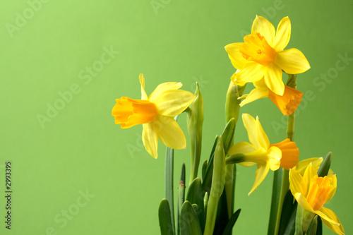 Staande foto Narcis osterglocken