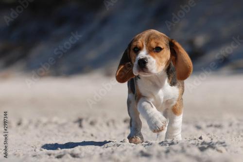 Obraz na plátně beagle puppy