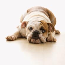 Bulldog Lying On Floor Looking...