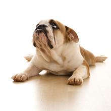 English Bulldog Lying On Floor.