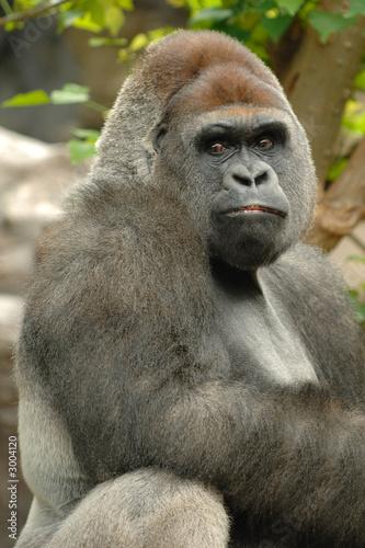 Photo  gorilla is posing
