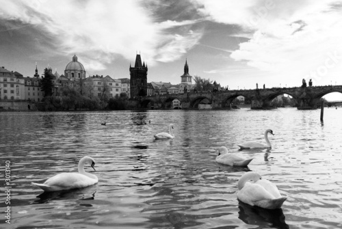 swans in river vltava