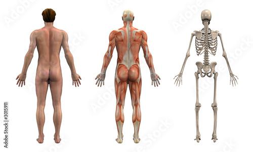 Fotografie, Obraz anatomical overlays - adult male - back view