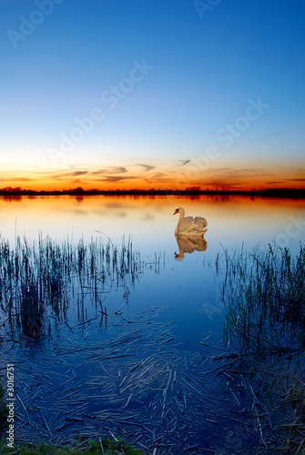 Foto-Kissen - swan on a lake at sunset (von Jaroslaw Grudzinski)