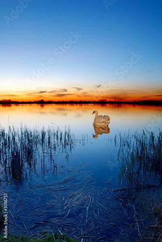 Foto-Kissen - swan on a lake at sunset