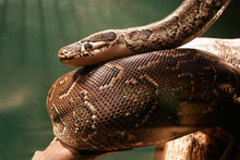 Huge Boa Constrictor In Jungle