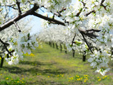 cherry and ploom tree branch in bloom