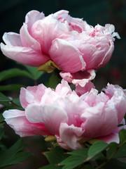 Fototapetapeonie rosa