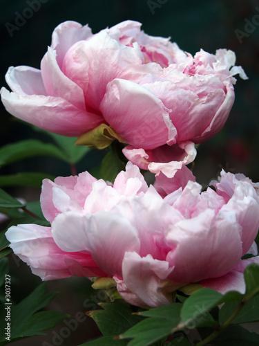 peonie rosa - 3037327