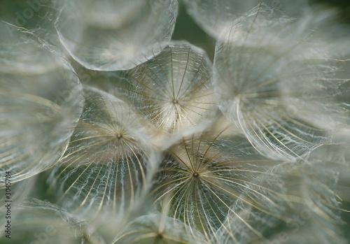 tragopogon