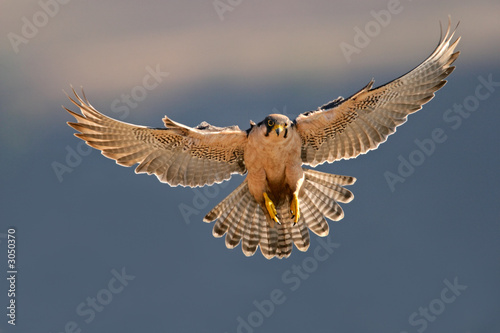 lanner falcon landing Tablou Canvas