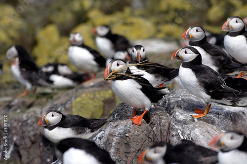 Fotografia puffin, bird,