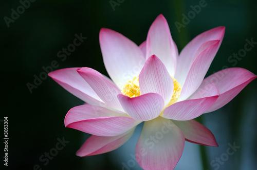Foto op Canvas Lotusbloem lotus flower over dark background