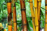 Bambusy w makro