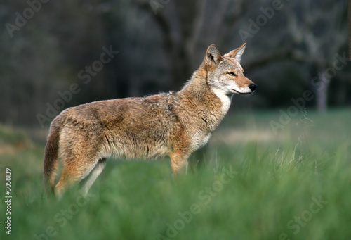 Fotografie, Tablou coyote in the cove