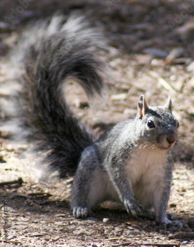 Photo  western gray squirrel