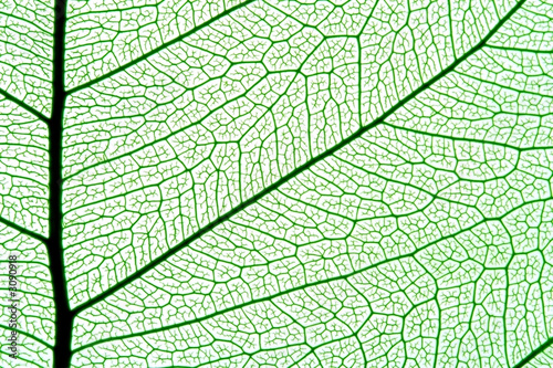 Fototapeta leaf texture obraz na płótnie