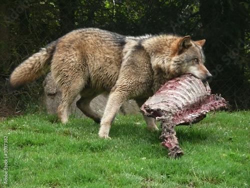 Fotografie, Obraz  hungriger wolf