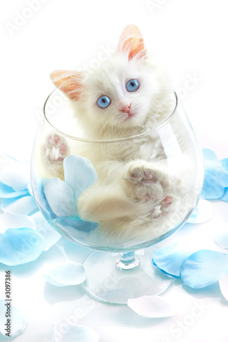 Foto auf Acrylglas Katze white kitten in a glass wine glass.