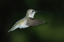 Hummingbird Wings Forward
