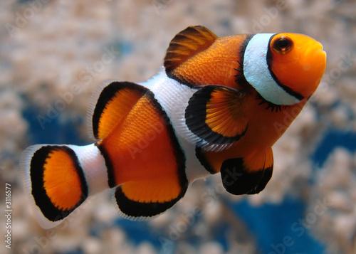 clownfish Tablou Canvas
