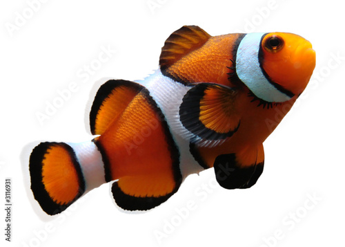 Tablou Canvas clownfish (isolated)