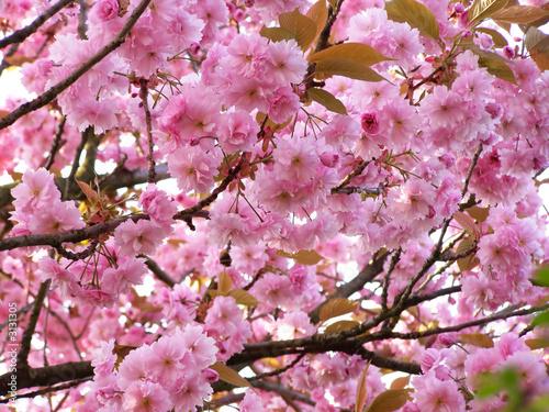 Fotobehang Macro cherry tree