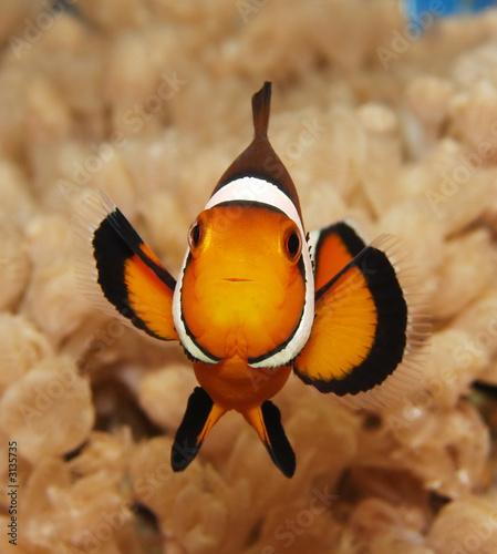 Fotografija clownfish