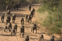 Baboons On Dusty Road