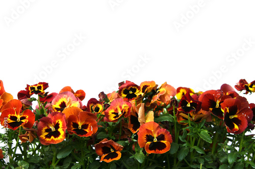 Wall Murals Pansies pansy