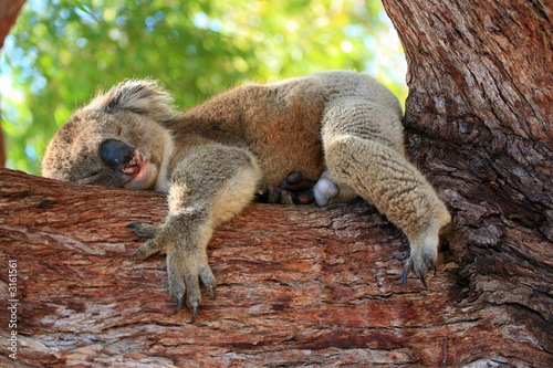Canvas Prints Koala australien_07_ 0150