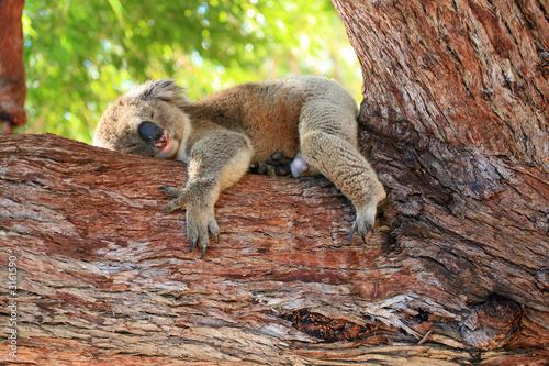 Garden Poster Koala australien_07_ 0149