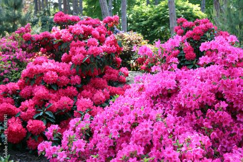 Canvas Prints Azalea rhododendron en sous bois