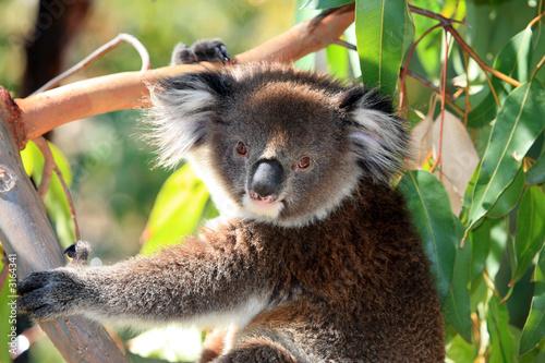 Garden Poster Koala australien_07_0236
