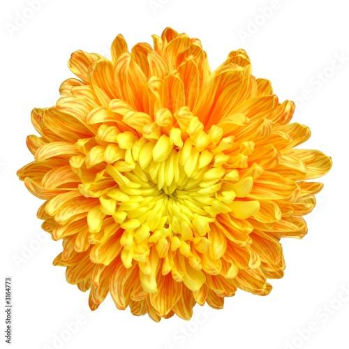 Photographie chrysanthemum - 1