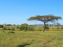 Acacia In The African Savanna, Serengeti Park, Tanzania