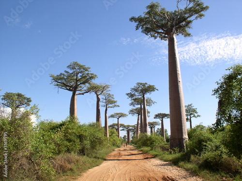 Fotografía allée des baobabs