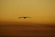 pelican flying in the golden sunset
