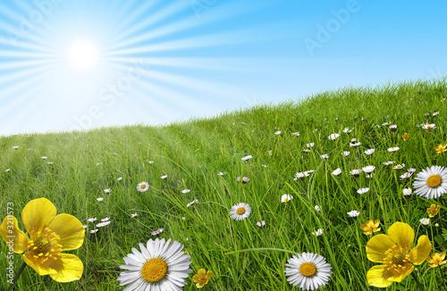 Foto  prairie paquerette bouton d'or soleil