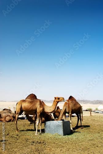 Spoed Foto op Canvas Group of camel