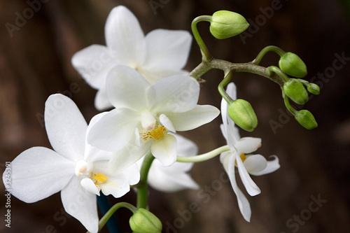 Poster Orchid phalaenopsis