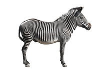 Grevy's Zebra Isolated Over Wh...