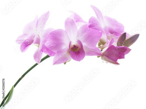 Foto-Leinwand ohne Rahmen - blossoms of an orchid (von ArtmannWitte)