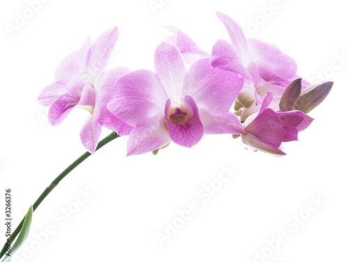 Doppelrollo mit Motiv - blossoms of an orchid