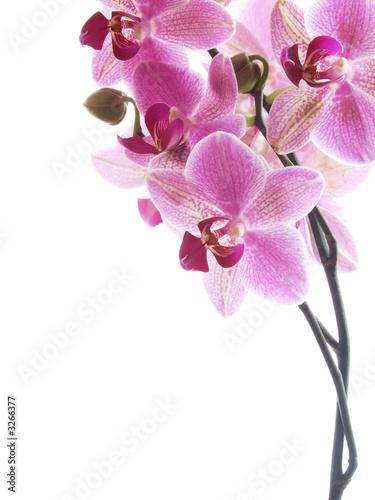 Foto-Schiebegardine ohne Schienensystem - pink orchid