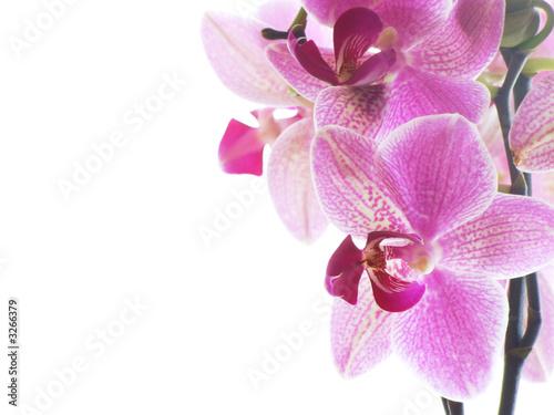 Doppelrollo mit Motiv - macro of a purple orchid (von ArtmannWitte)
