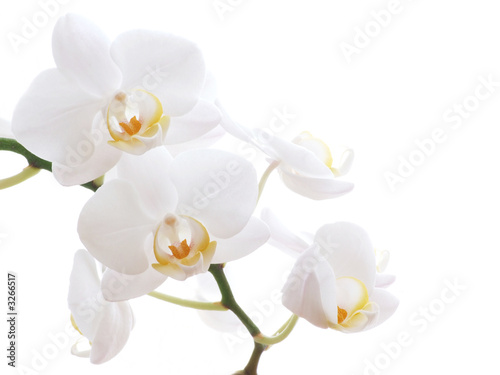 Doppelrollo mit Motiv - white orchid